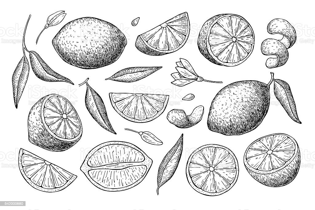 Vector hand drawn lime or lemon set. vector art illustration