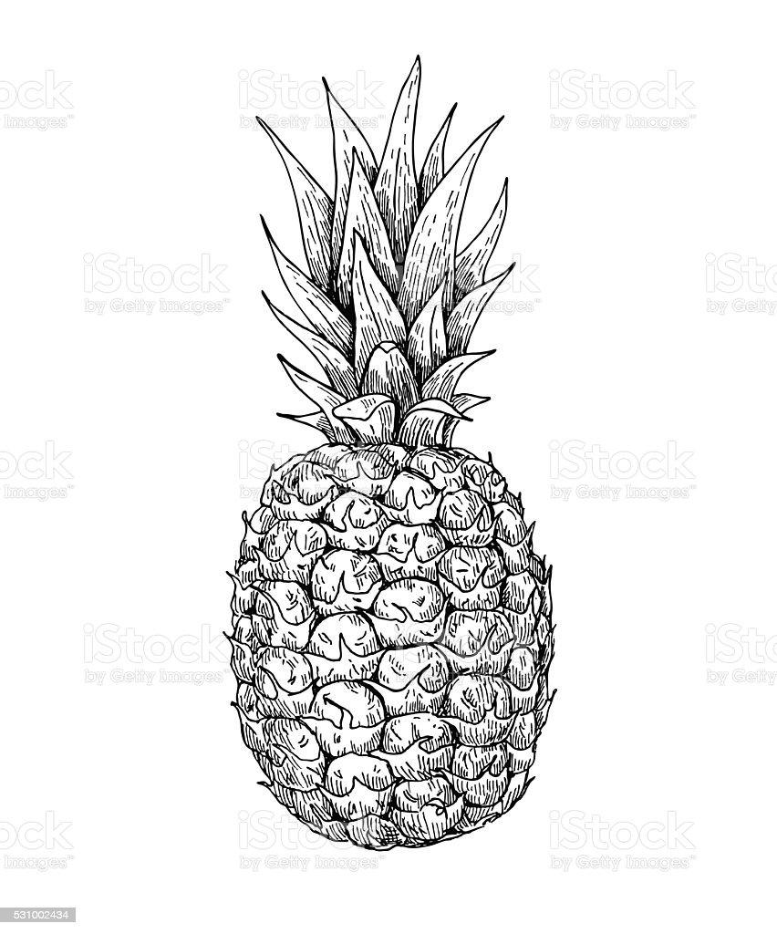 Vector hand drawn pineapple. Summer fruit engraved style illustr vector art illustration