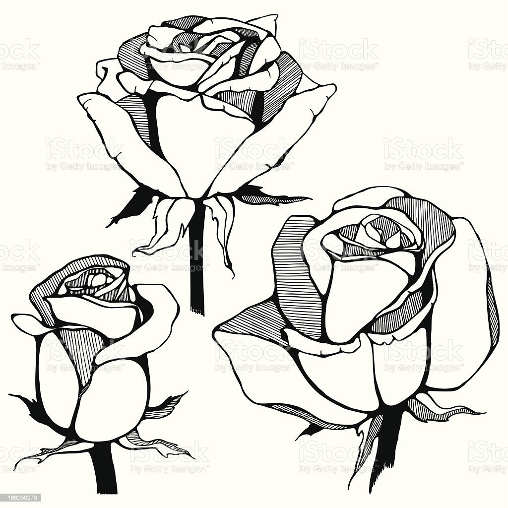 Vector hand drawn roses flowers. royalty-free stock vector art