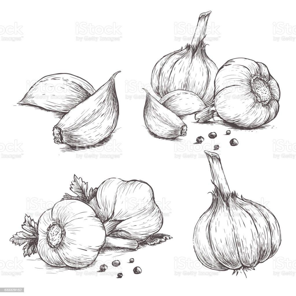 Vector hand drawn set of garlic. vector art illustration