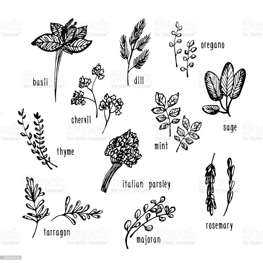 Vector hand drawn set with culinary herbs and spices. vector art illustration
