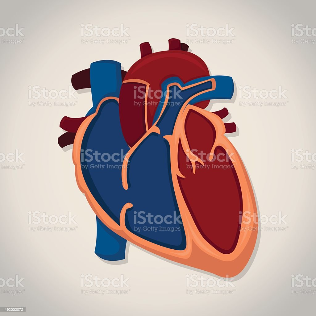 Vector heart anatomy with white background. vector art illustration