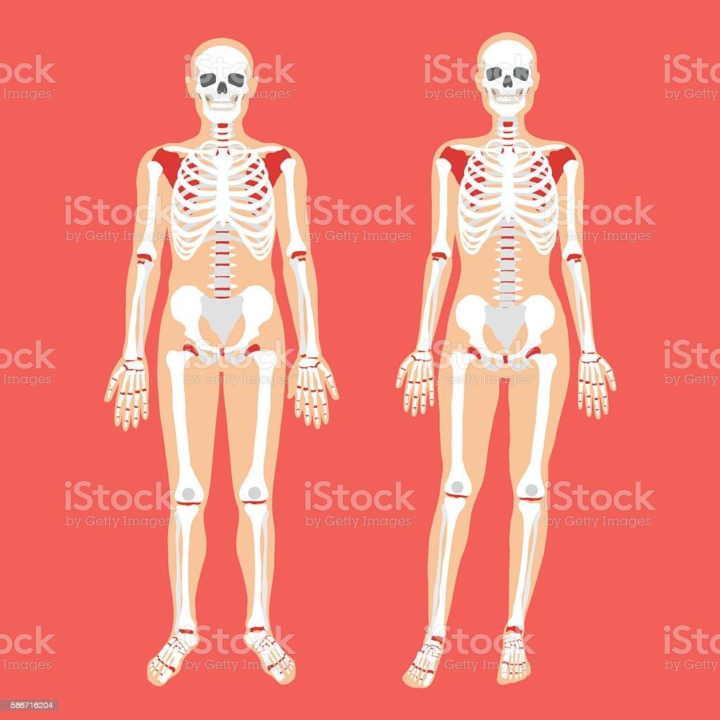 Vector human anatomy, skeletal system. Female and male bodies, skeletons vector art illustration