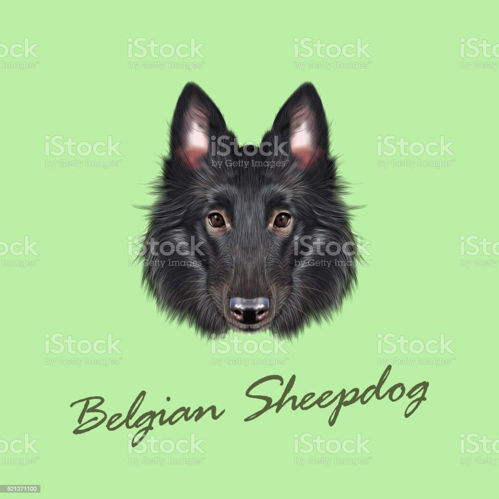 Vector Illustrated portrait of Belgian Shepherd. vector art illustration
