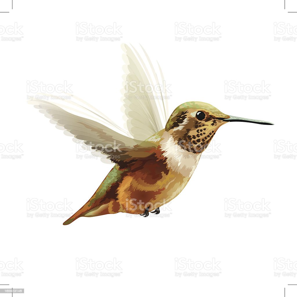 Vector Illustration: Anna's Hummingbird vector art illustration