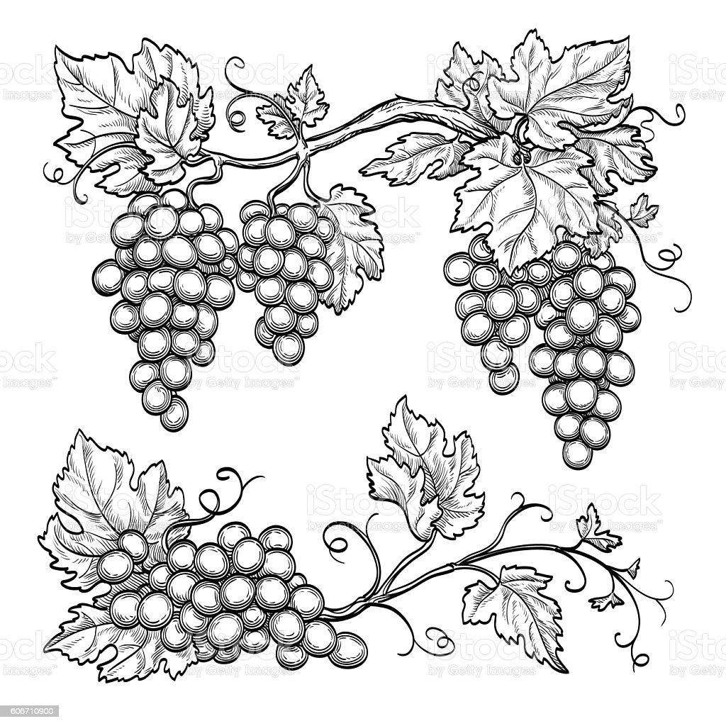 Vector illustration grape branches vector art illustration