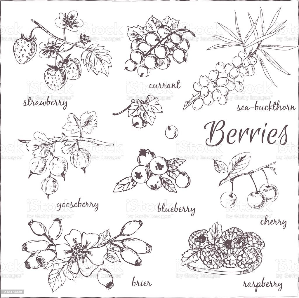 Vector illustration of berries for design menus, recipes and pac vector art illustration