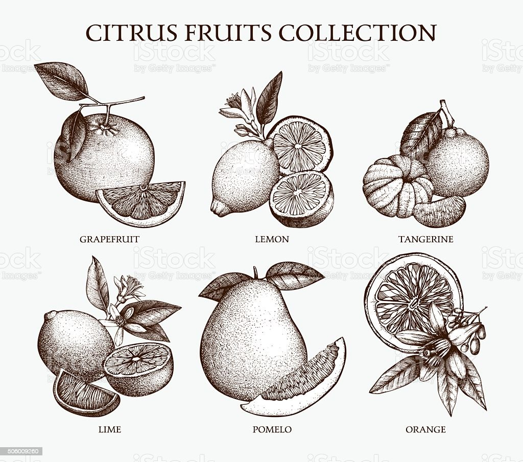 Vector illustration of highly detailed citrus fruits sketch vector art illustration