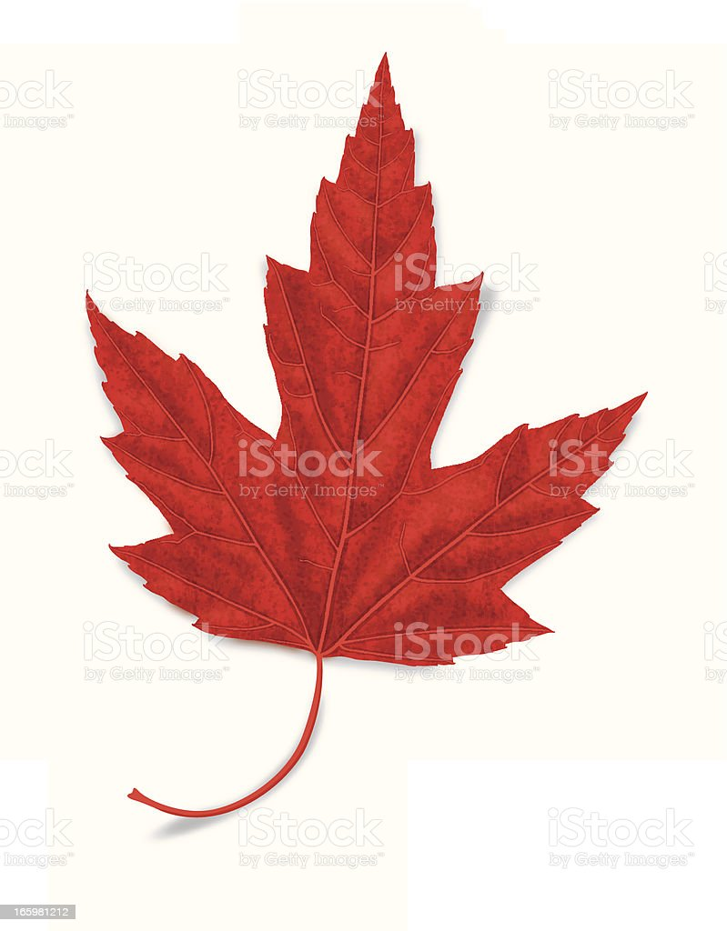 Vector Illustration of Realistic Red Maple Leaf Isolated on White. royalty-free stock vector art