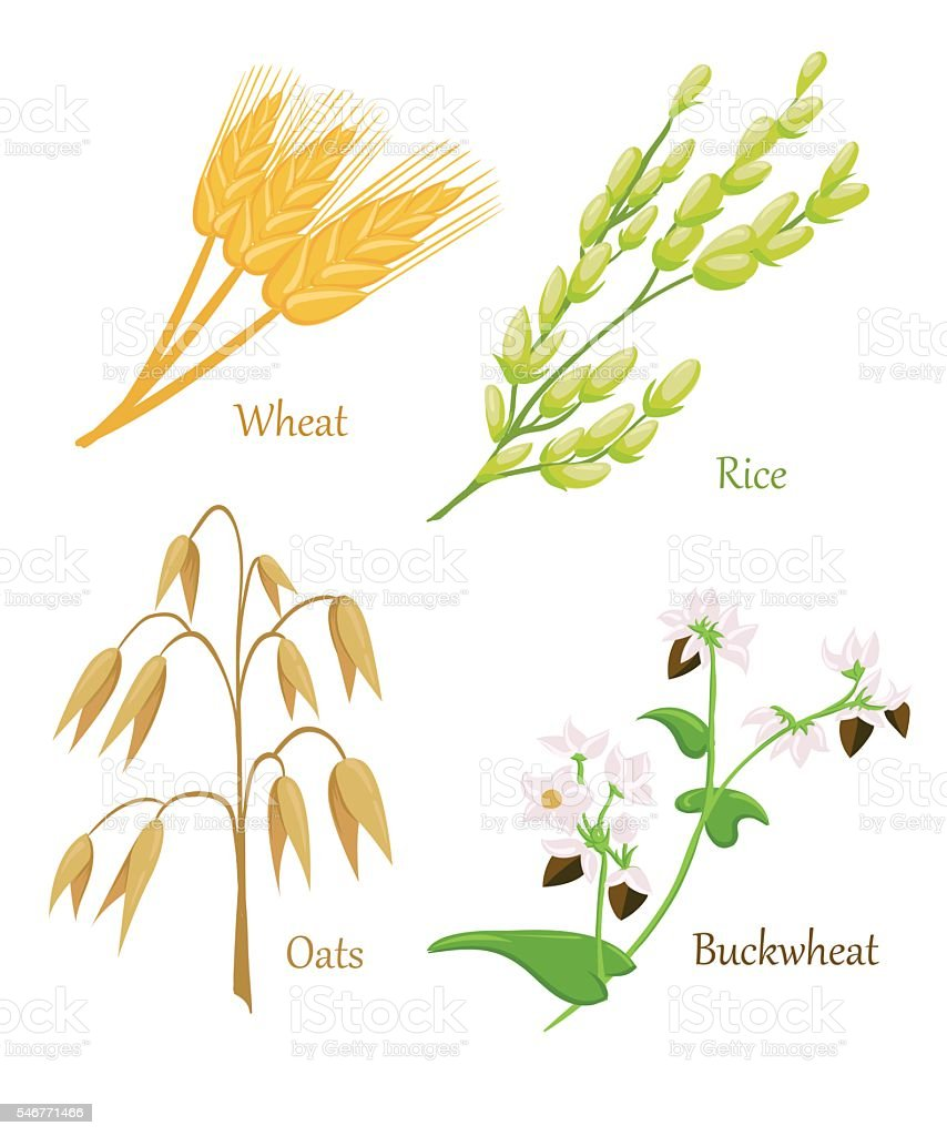 Vector illustration of ripe ears of cereals with inking. vector art illustration