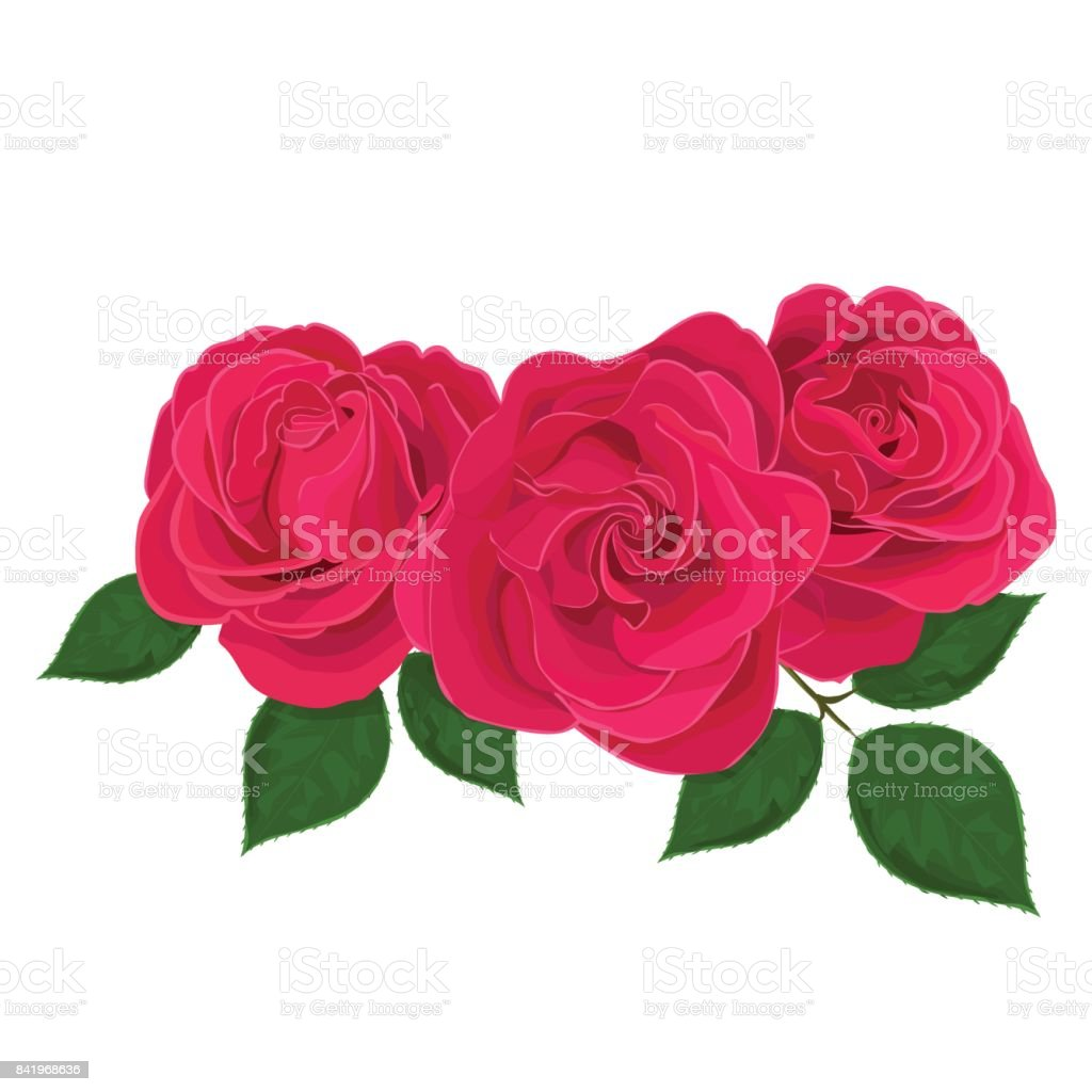 Vector illustration of three delicate pink and red flower, bud of roses, bloom on a branch on white background. vector art illustration