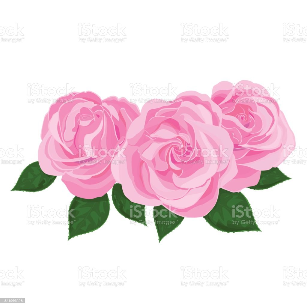Vector illustration of three pink flower, bud of roses with leaves, bloom on a branch on white background. vector art illustration