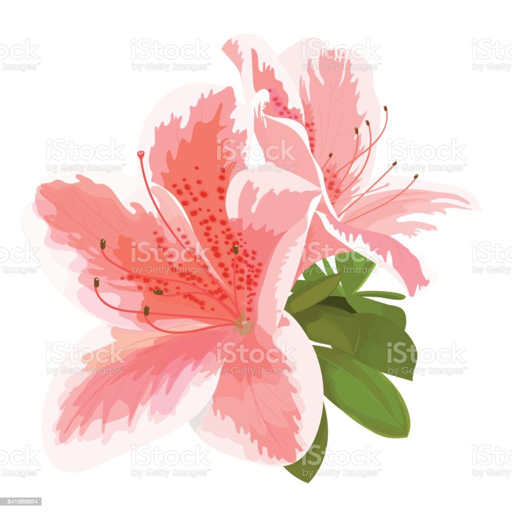 Vector illustration of two delicate pink and white flower, bud of rhododendron, bloom on a branch. Beautiful Azalea on white background vector art illustration