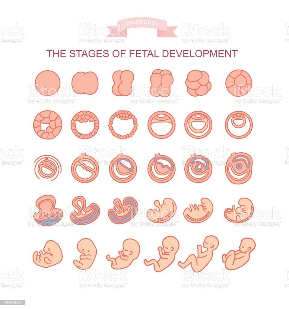vector illustration stages of fetal development. vector art illustration