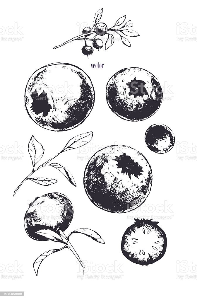 Vector image of bilberry. vector art illustration