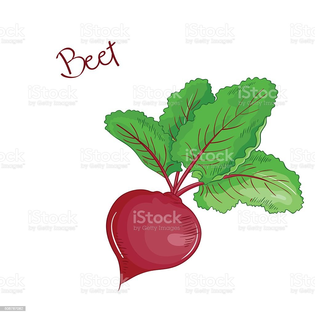 vector isolated cartoon fresh hand drawn beet. vector art illustration