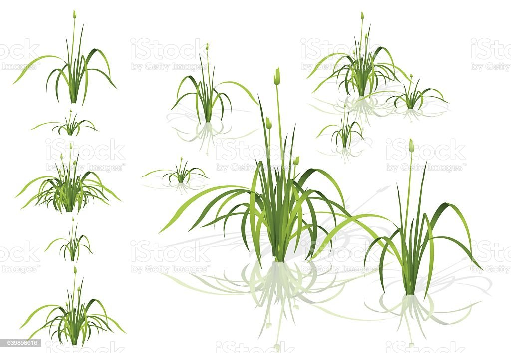 Vector isolated reed. Water plants in different variants with shadows. vector art illustration