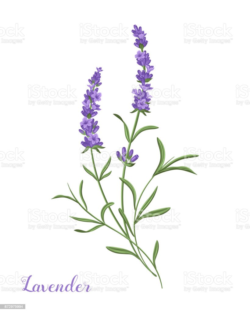 How to Use Lavender in Aromatherapy forecasting