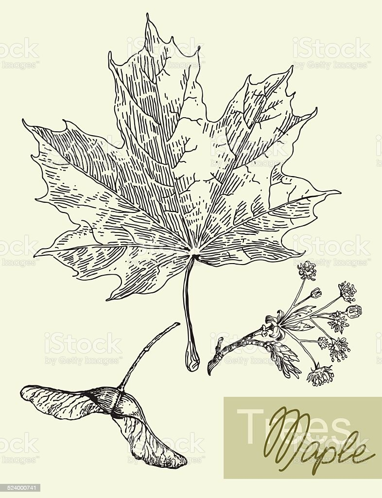 Vector leaves, flowers and fruits of the maple. vector art illustration
