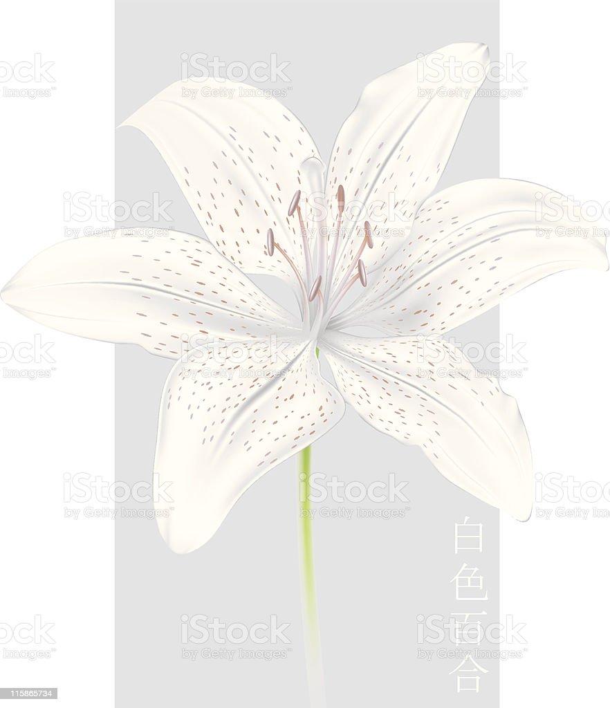 vector lily (gradient mesh) royalty-free stock vector art