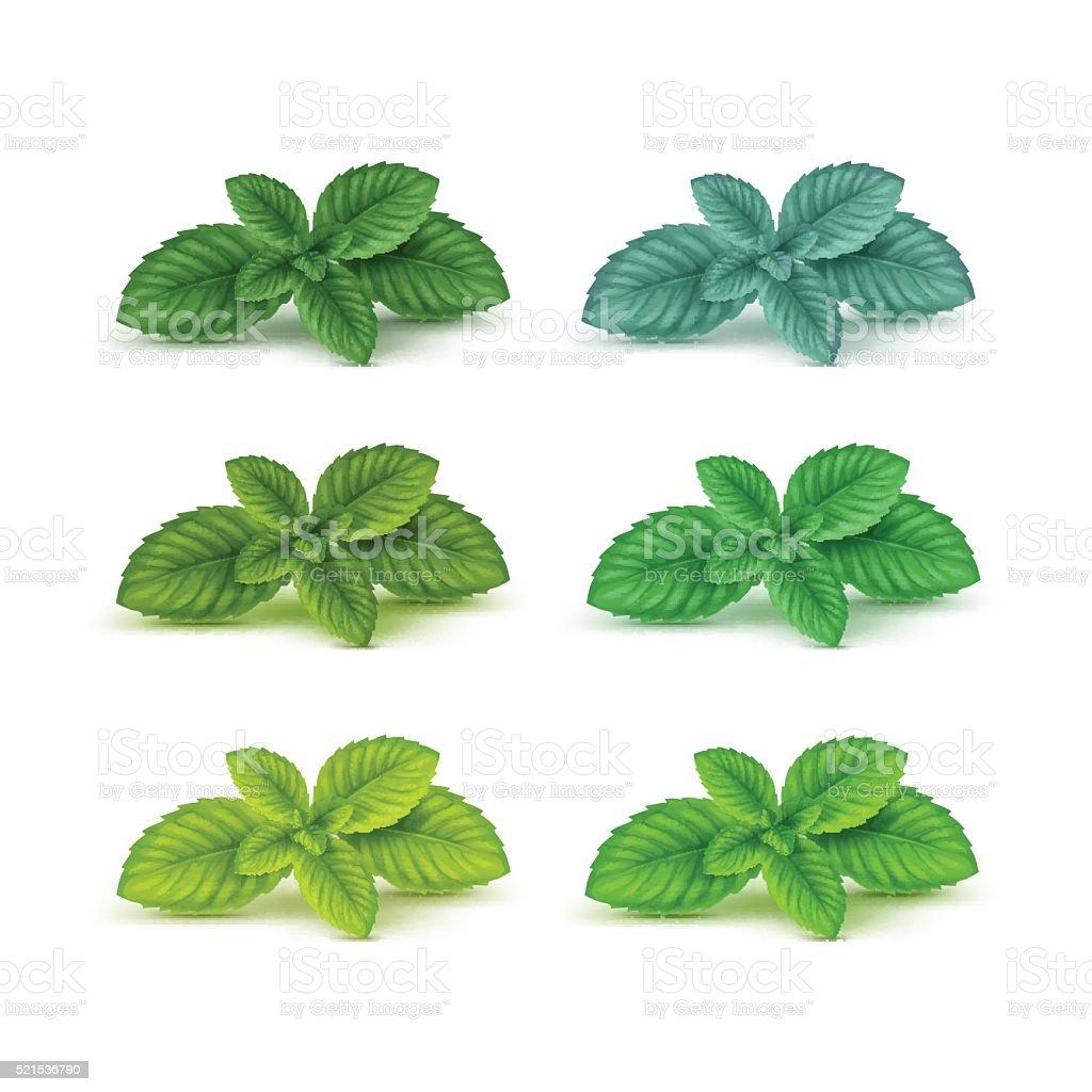 Vector Mint Spearmint Peppermint Leaf Leaves Set Isolated vector art illustration