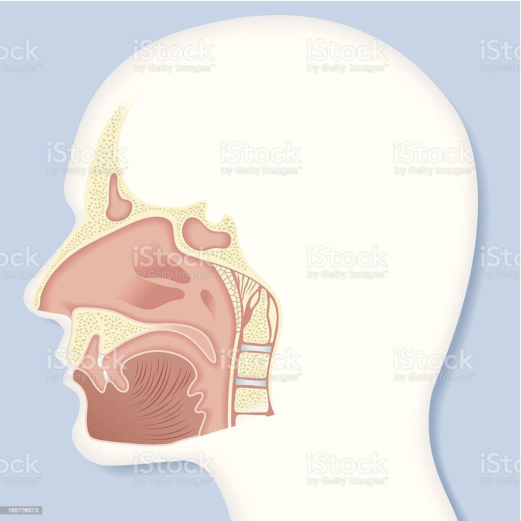 vector, nasal cavity royalty-free stock vector art