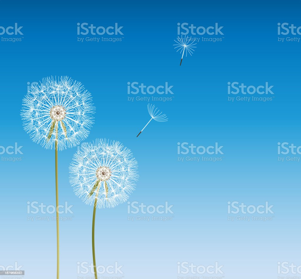 Vector of dandelions with two spores floating away royalty-free stock vector art
