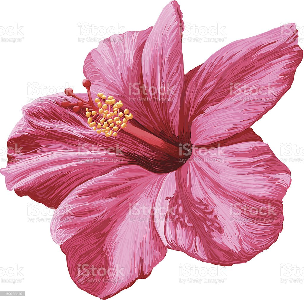Vector Realistic Hibiscus Flower Isolated on White Background vector art illustration