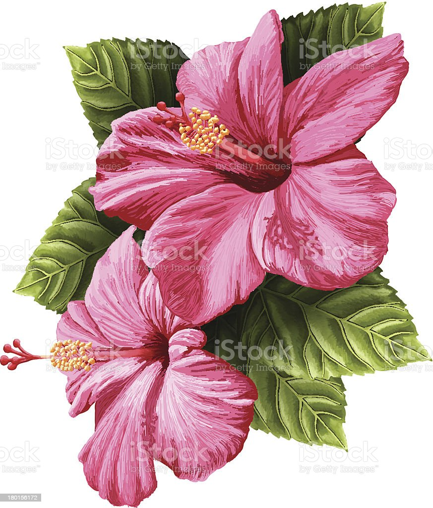 Vector Realistic Hibiscus Flowers Isolated on White Background vector art illustration