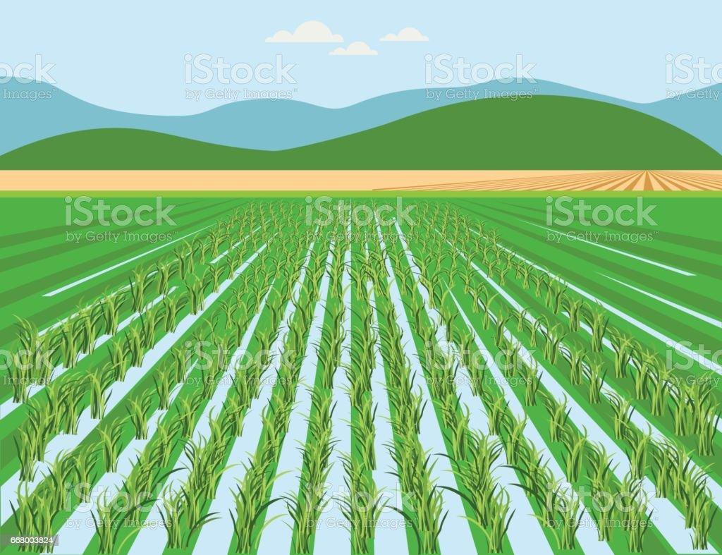 Vector rice field vector art illustration