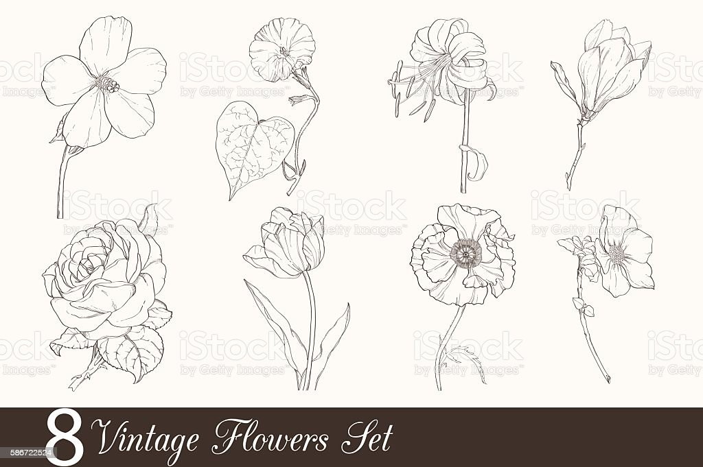 Vector Set of 8 Vintage Drawing Flowers With Tulip, Poppy vector art illustration