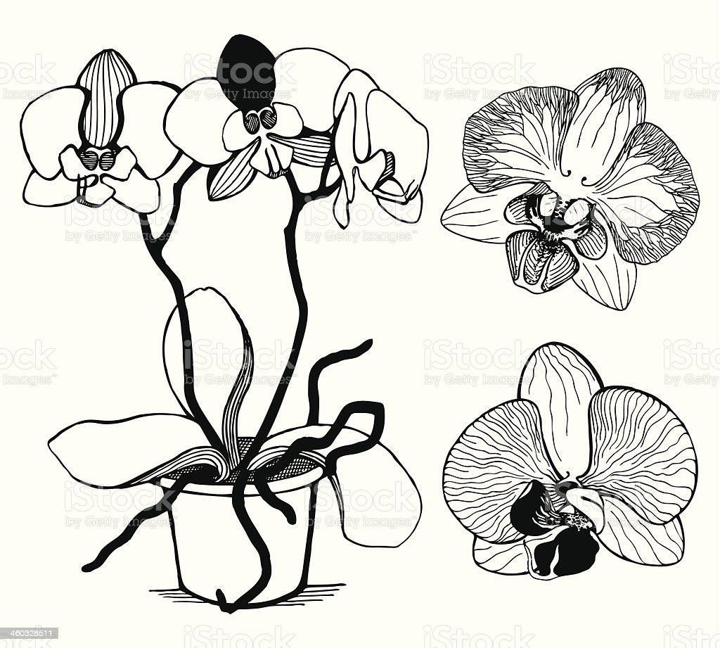 Vector set of hand drawn orchid flowers isolated on white royalty-free stock vector art