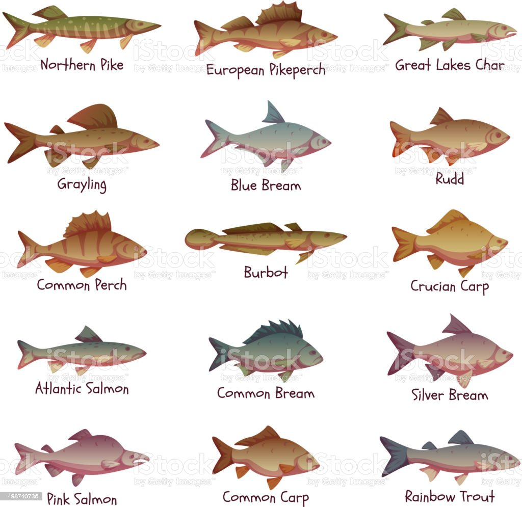 Vector set of most popular freshwater fishes vector art illustration