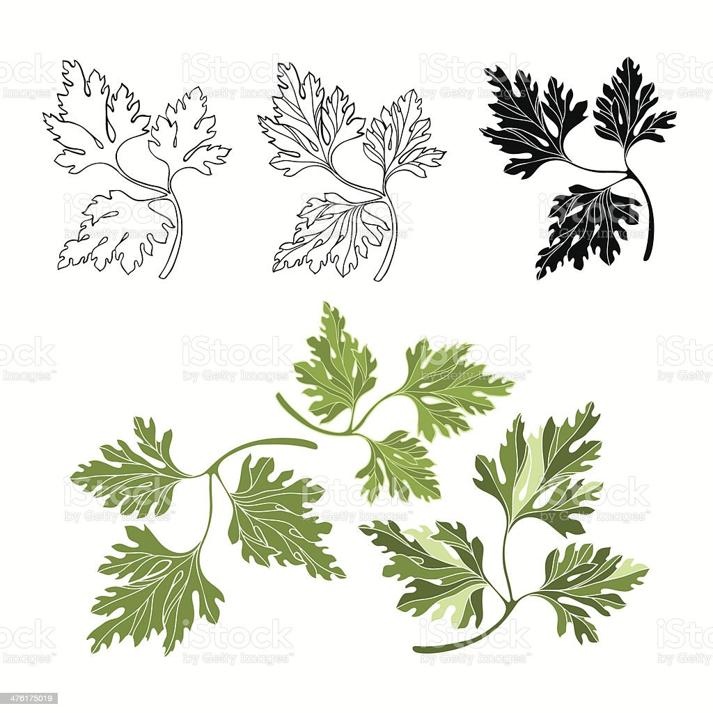 Vector set of parsley on a white background royalty-free stock vector art