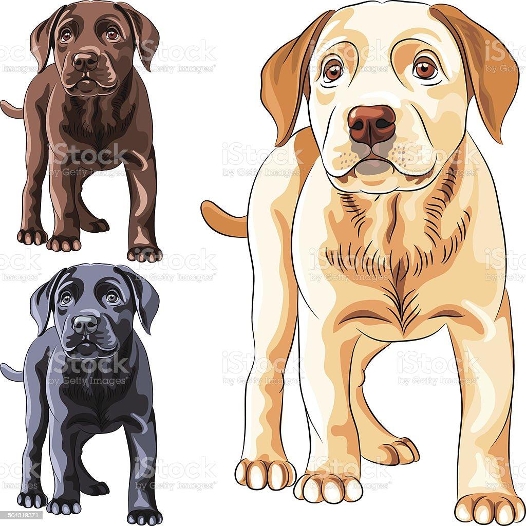 vector set puppy dog breed Labrador Retriever vector art illustration