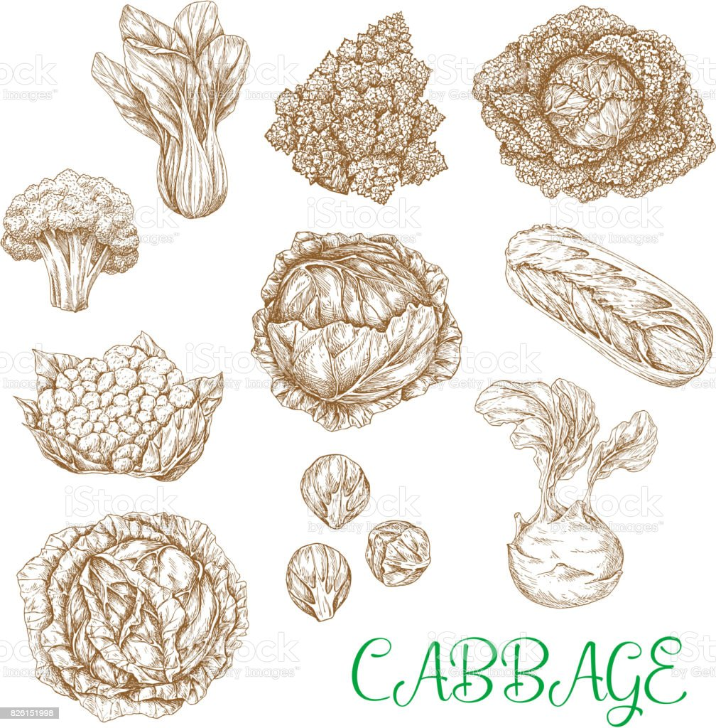 Vector sketch icons of cabbage vegetables vector art illustration
