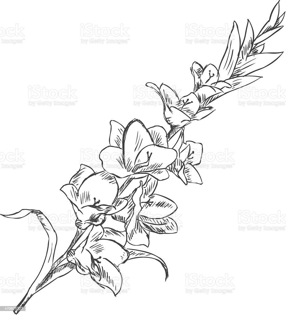 Vector Sketch Illustration - gladiuolus vector art illustration