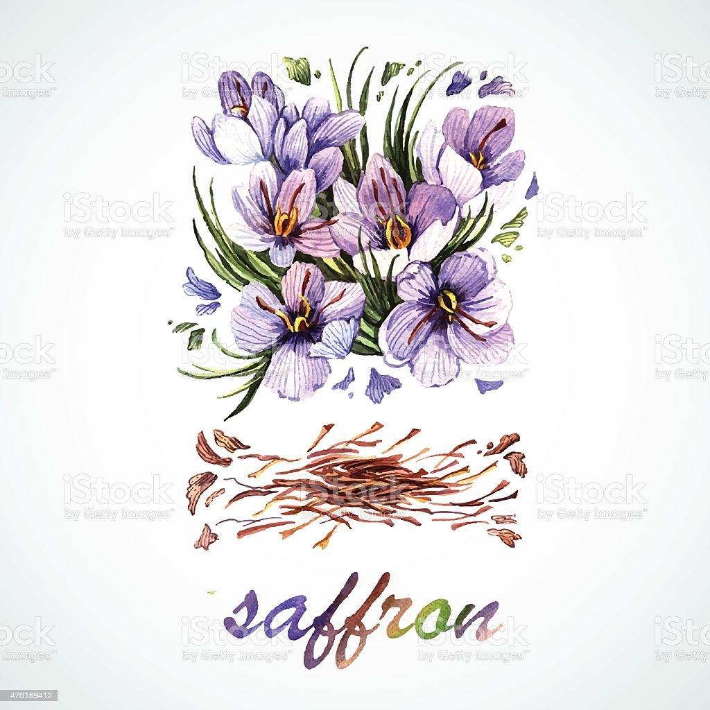 Vector watercolor Saffron vector art illustration