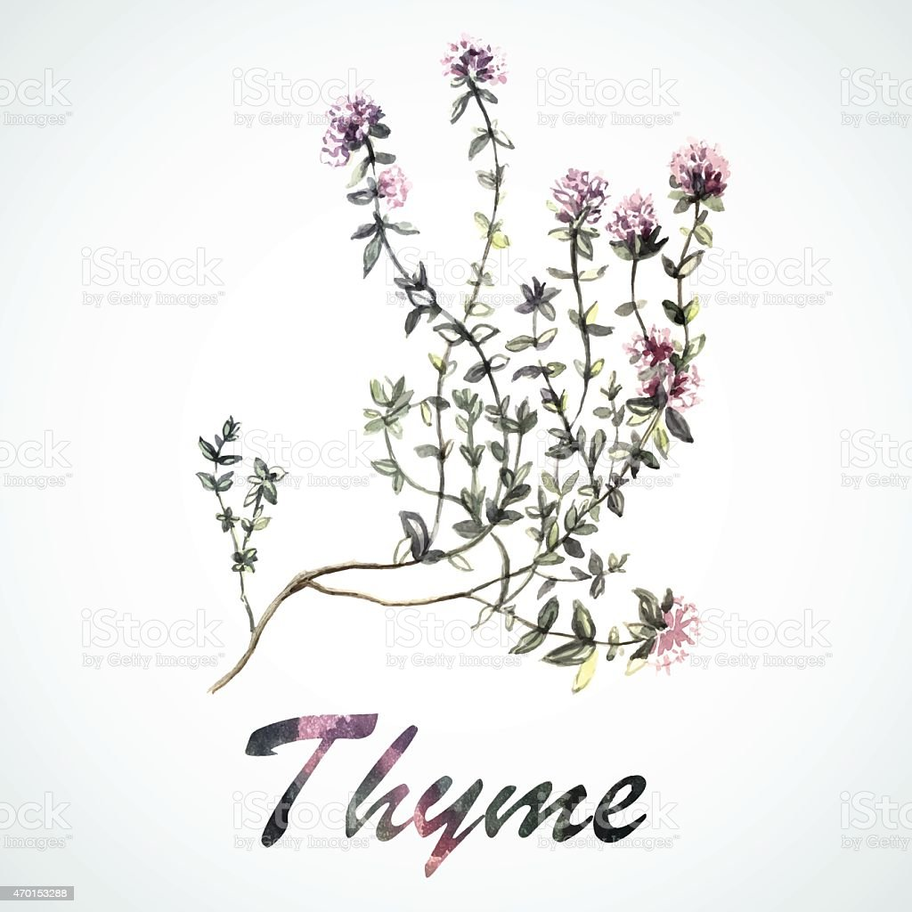 Vector watercolor Thyme vector art illustration