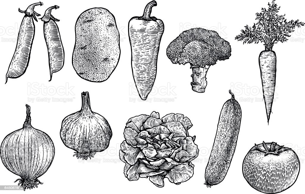 Vegetable collection illustration, drawing, engraving, line art, vegetable, vector vector art illustration