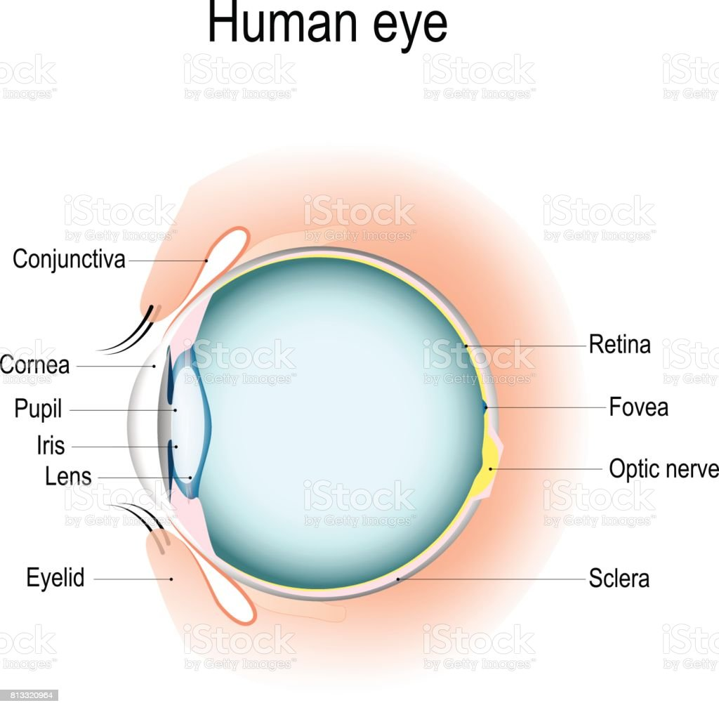 Vertical section of the human eye and eyelids vector art illustration