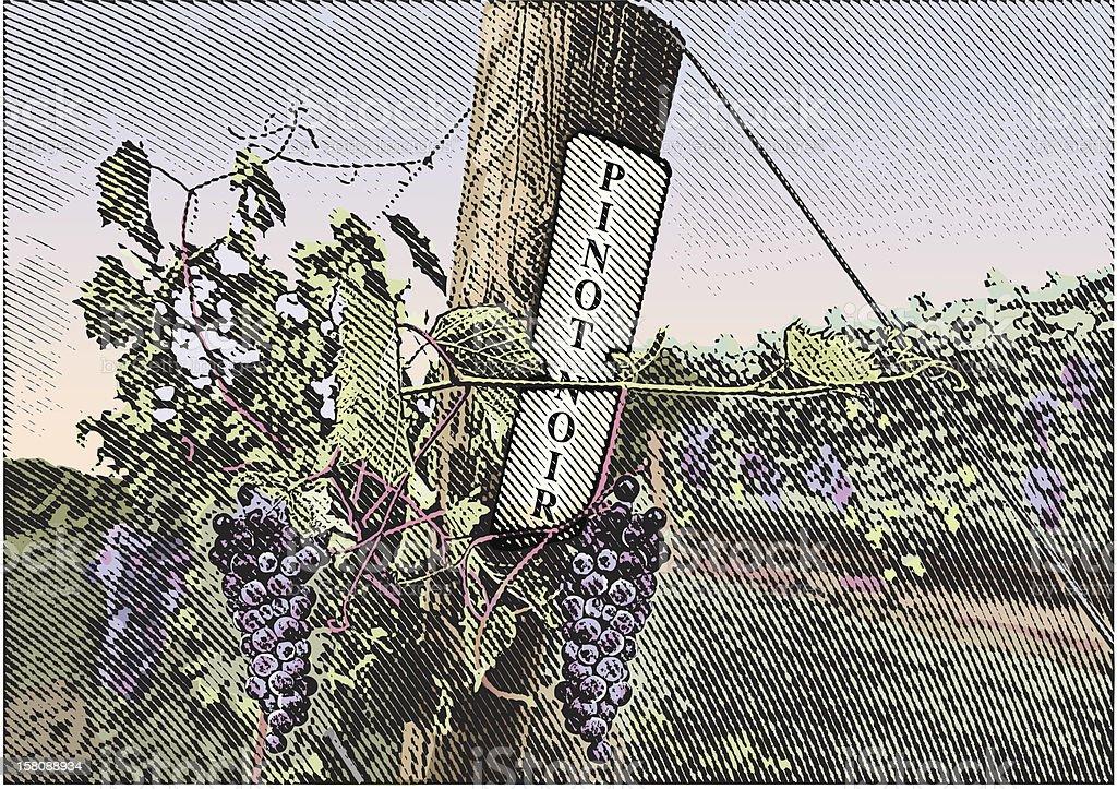 Vineyard Grapes Pinot Noir vector art illustration