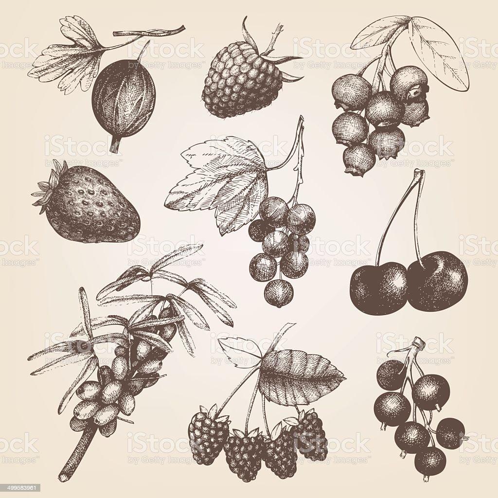 Vintage fruit and berry illustration. vector art illustration