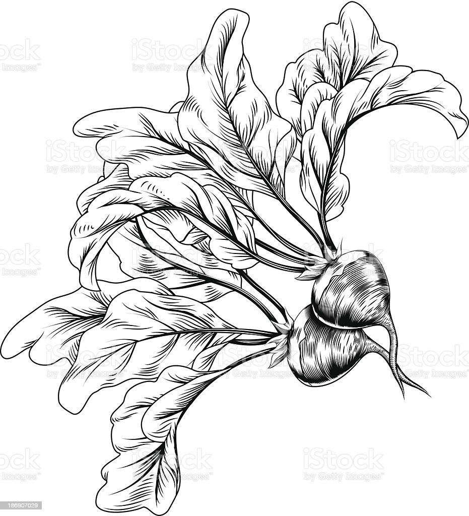 Vintage retro woodcut radish or beets vector art illustration