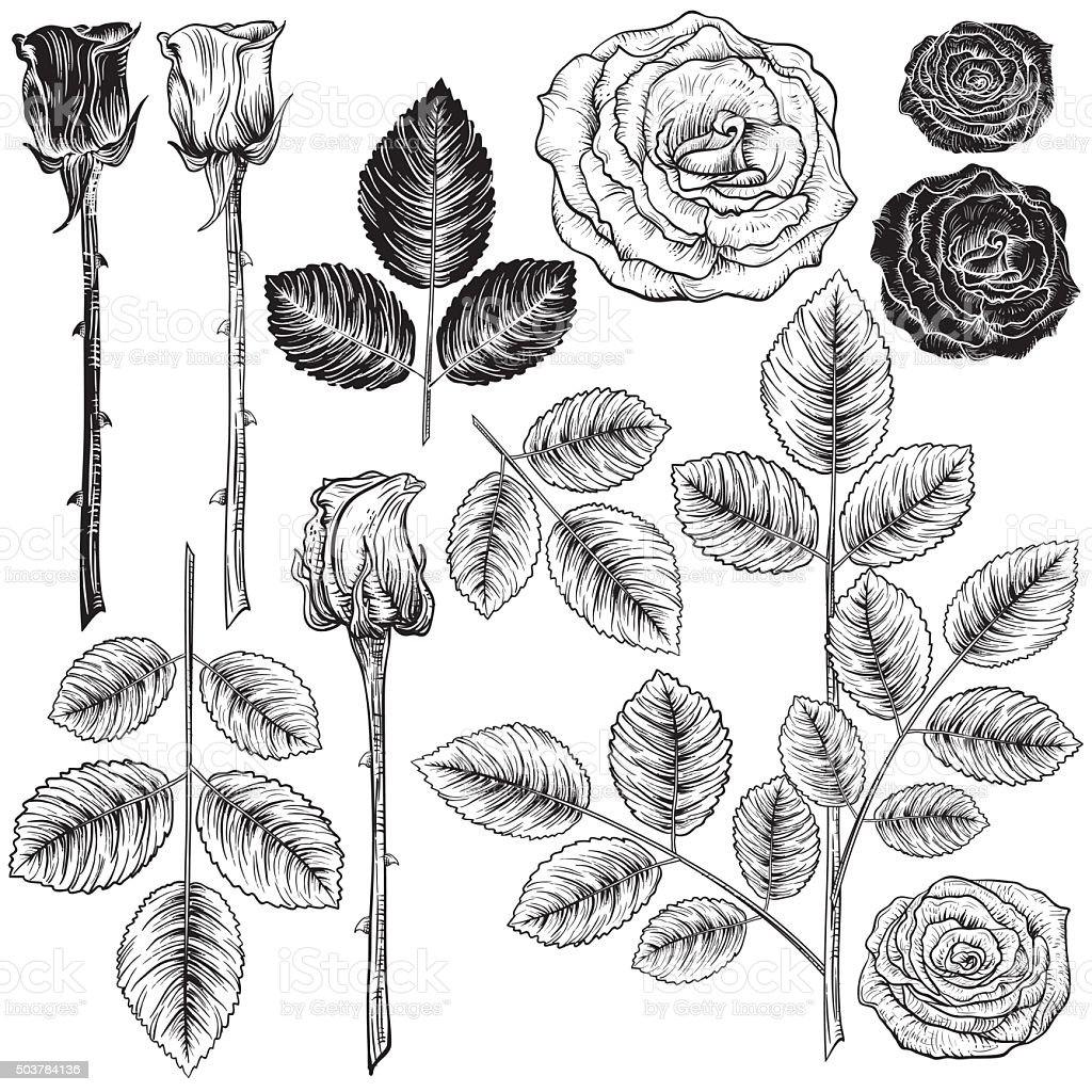 Vintage Style Botanical Roses Design Elements vector art illustration