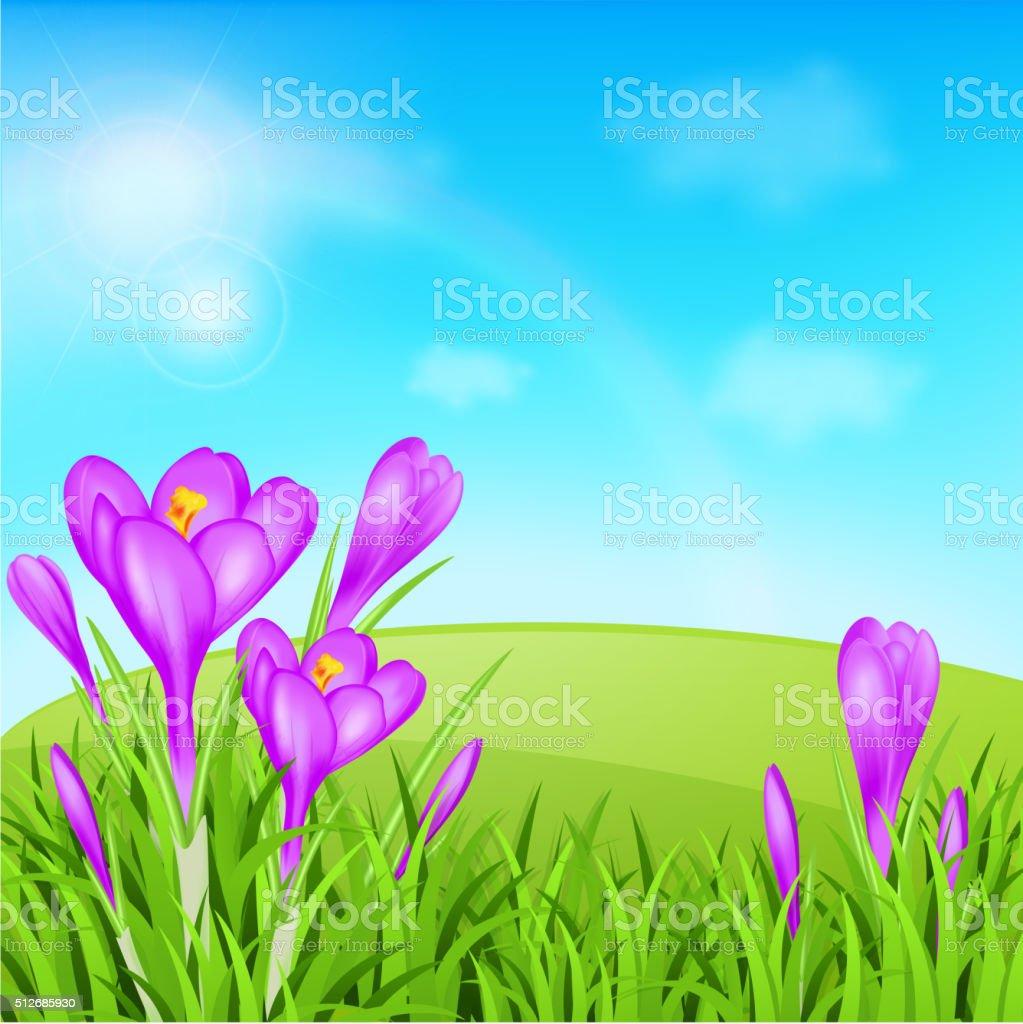 Violet crocuses and green grass vector art illustration