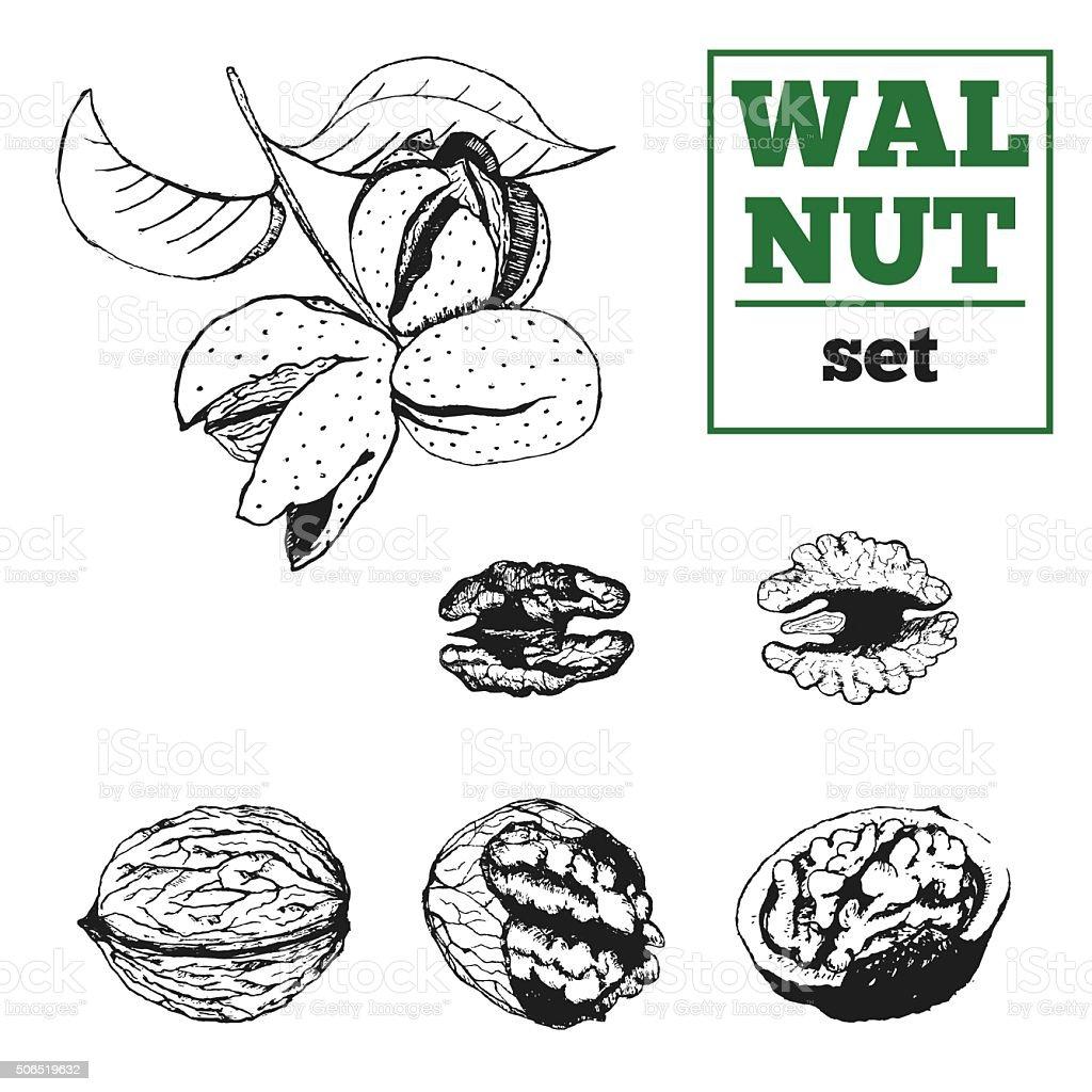 Walnut hand drawn vector set. Nut kernel, shell and  nutwood. vector art illustration
