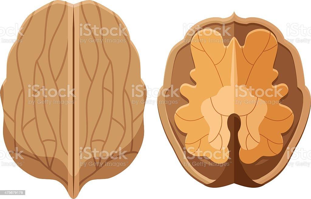 Walnut illustration vector art illustration