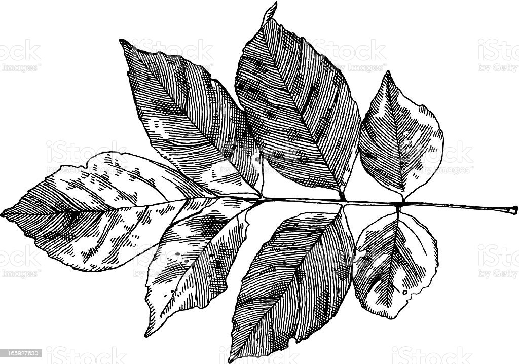 Walnut Leaf vector art illustration