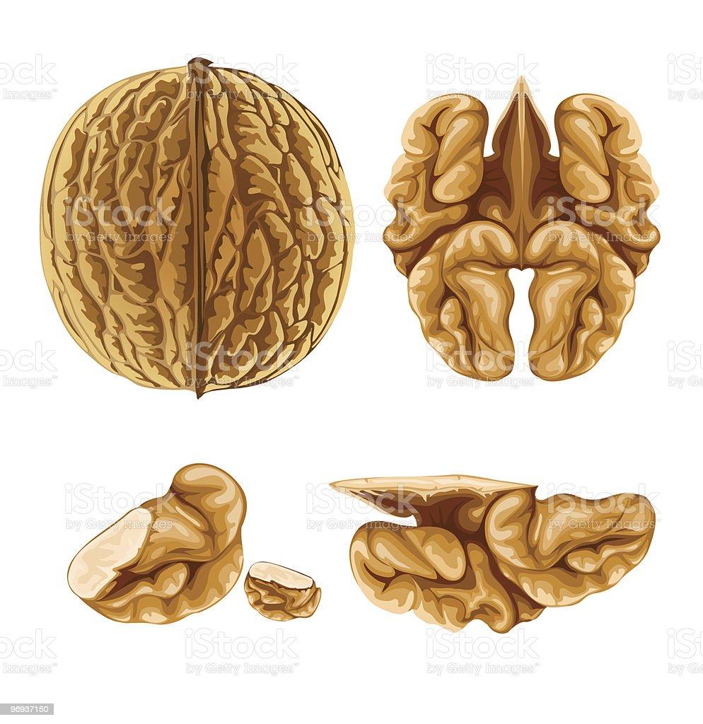 walnut nut with shell vector art illustration